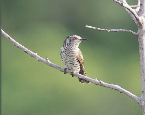 鳥 (レスピーギ)